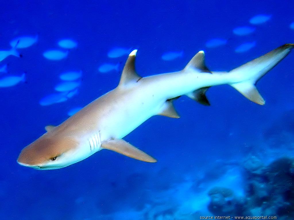 Connaitre la mer et les navires - chroniques et actu Requin